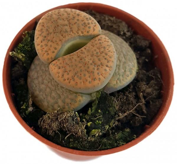 Lithops 'fulviceps' - lebender Stein