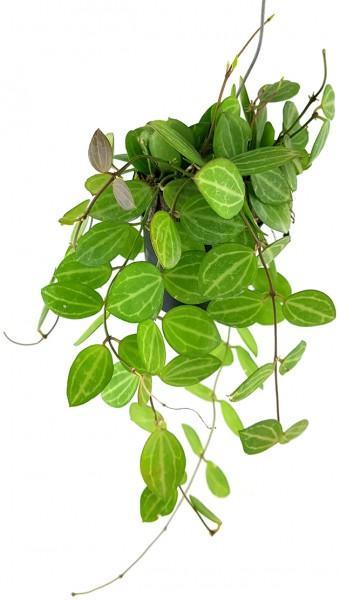 Dischidia ovata - exotische Hängepflanze