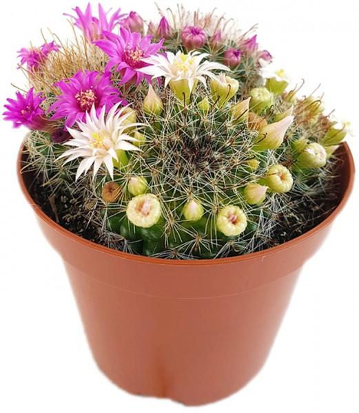 Mammillaria zeilmanniana - blühfreudiger Kaktus