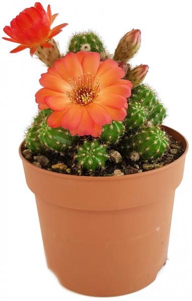 kaktus sukkulente Chamaelobivia selten bunt blüten kaktee pflegeleichte pflanze sammlerpflanze zimmerpflanze kaufen bestellen außergewöhnlich rar rarität