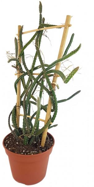 Selenicereus grandiflorus - 'Königin der Nacht'