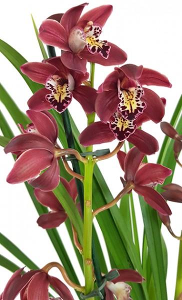 Cymbidium Hybride - Kahnorchidee
