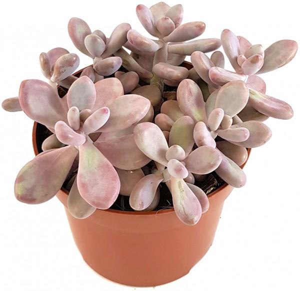 Pachyphytum oviferum PINK - Mondsteinpflanze