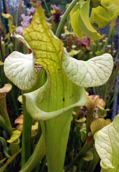 Sarracenia (Flava var. Rugellii X Leucophylla) X Moorei 'Adrian Slack'