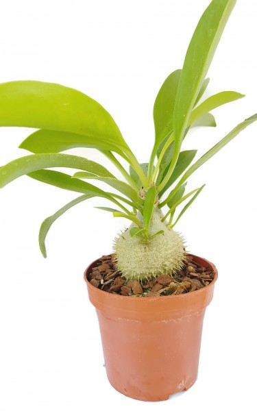 Myrmecodia Beccarii - Ameisenpflanze