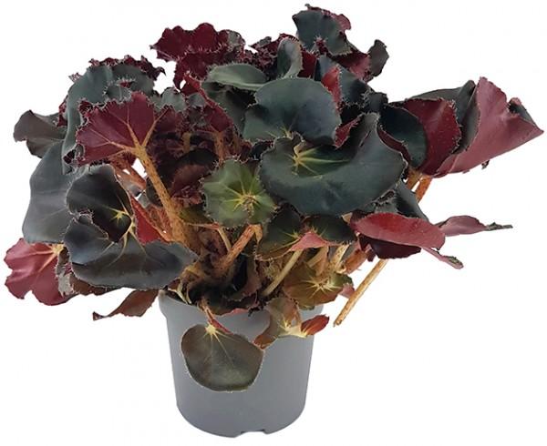 Begonia 'Black Jungle' - edle Begonie