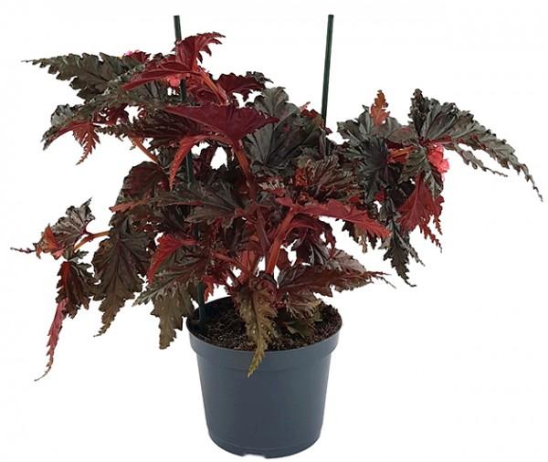 Begonia serratipetala - botanische Begonie