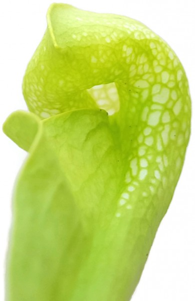 Sarracenia Psittacina 'Green Form'