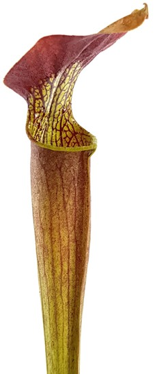 Sarracenia Alata var. rubrioperculata - Red Lid, Ex Mike Brooks