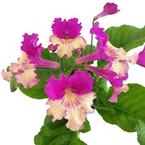 Streptocarpus SALE - 5 Pflanzen ohne Blüten