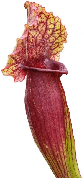 Sarracenia X Mitchelliana `Heavily Veined`