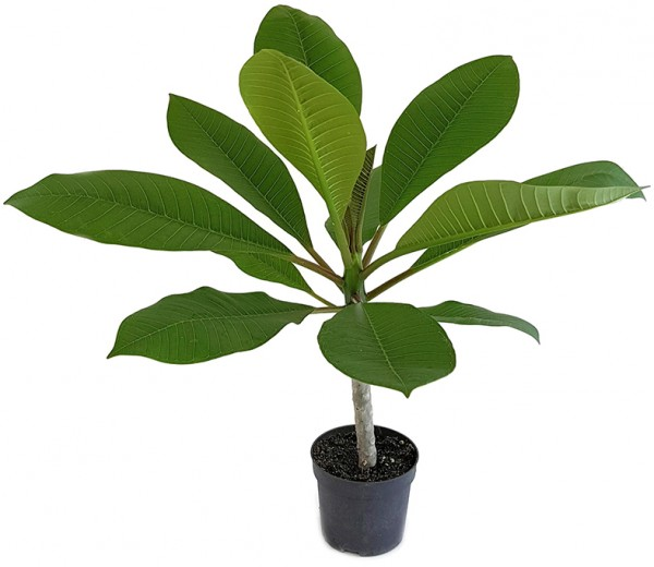 Plumeria Frangipani Tempelbaum seltene Pflanze, exotische Pflanze, Zimmerpflanze, Wohnung, Büro, Büropflanze, Schlafzimmer, Zimmer, Küche, Bad, Dekoration, Fensterbrett, Grünpflanze, Blätter, Stube, rare Pflanze