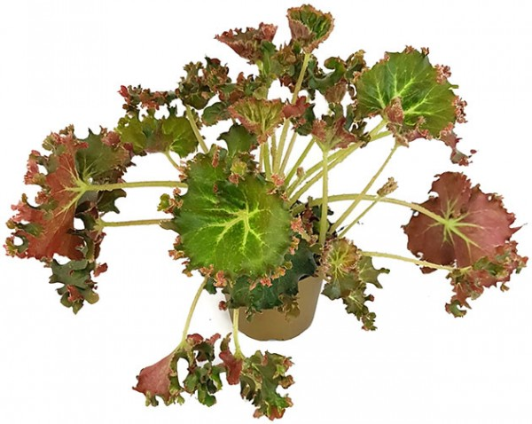 Begonia x erythrophylla 'Bunchii' - Salatbegonie