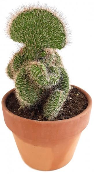 Stenocereus hollianus 'Cristata' - schwungvoller Kaktus