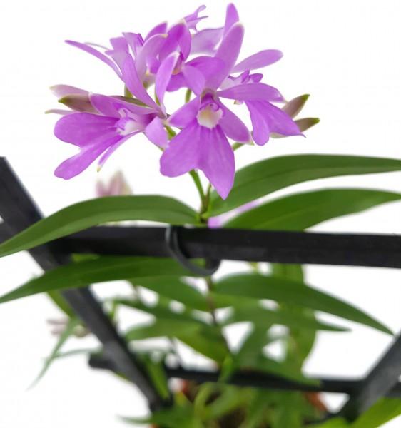 Orchidee - Oerstedella centradenia - Miniaturorchidee