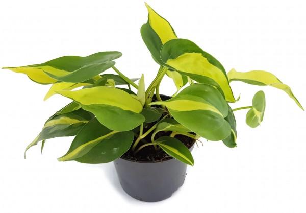 Philodendron Scandens BRAZIL - limonengrüner Baumfreund
