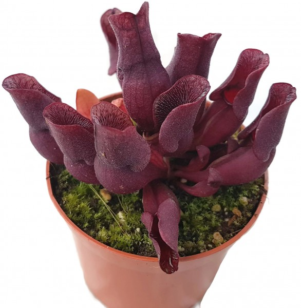 Sarracenia Purpurea ssp. Venosa 'Minor Black' ex. Carow