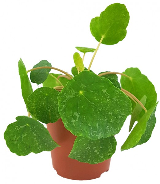 Pilea peperomioides 'Sugar' - panaschierte Ufopflanze