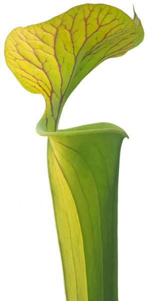 Sarracenia Flava var. Cuprea - Klon 1