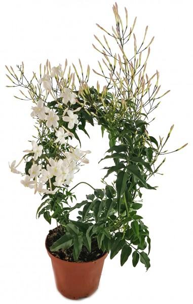 Jasminum polyanthum - echter, duftender Jasmin