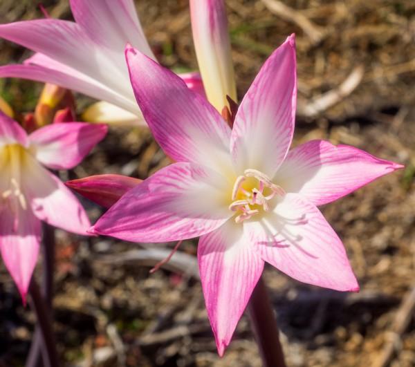 Amaryllis Belladonna - Blumenzwiebel