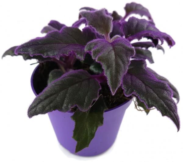 Violette Samtnessel Gynura Aurantiaca Fantastische Zimmerpflanze