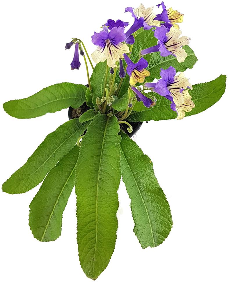 exotische Zierpflanze Drehfrucht Dauerblüher Streptocarpus gelb-weiß