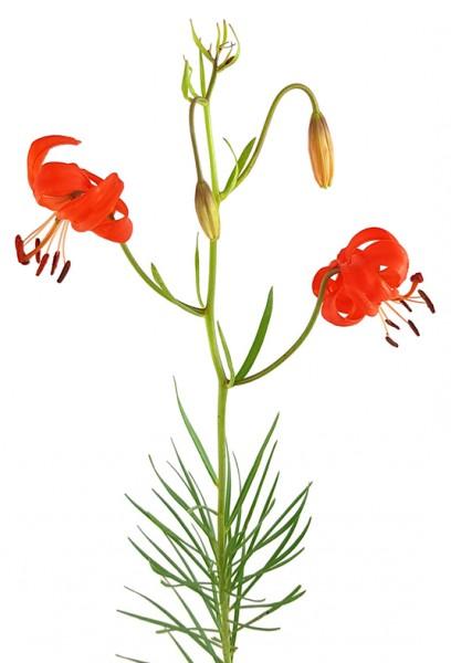Lilium pumilum - Korallen-Lilie