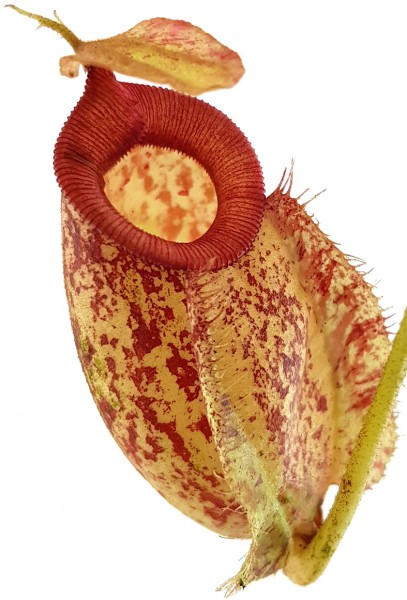 Kannenpflanze fleischfressende pflanze nephentes Hookeriana Fangblatt