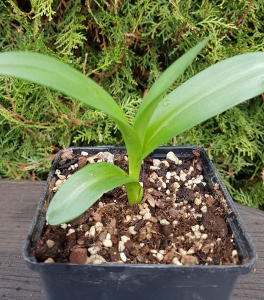 Dactylorhiza purpurella - Purpurblütiges Knabenkraut