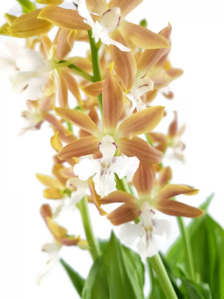 Calanthe sieboldii x discolor Hybride Takane Orchidee