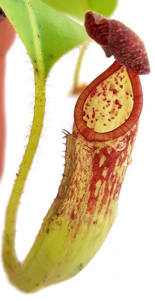 Nepenthes glandulifera BE-3691