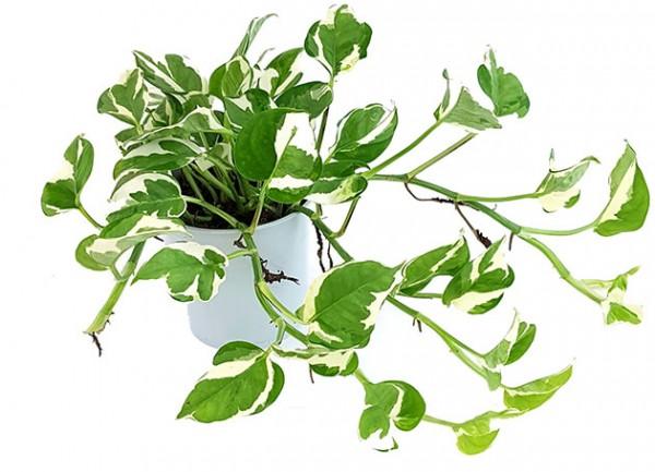 Epipremnum pinnatum 'N-Joy' - panaschierte Efeutute