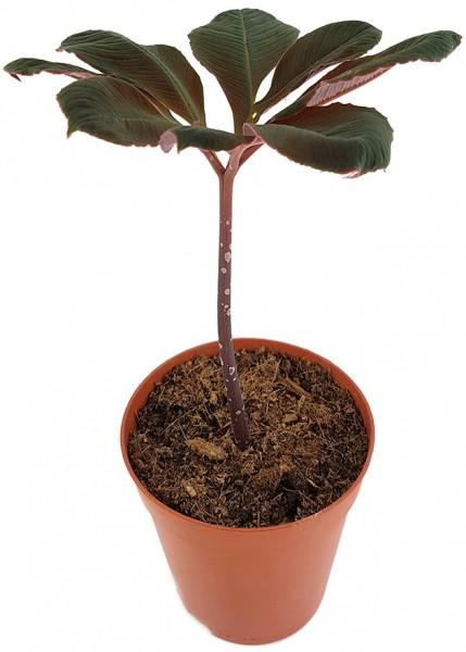 Amorphophallus atrovirdis - Aronstabgewächs