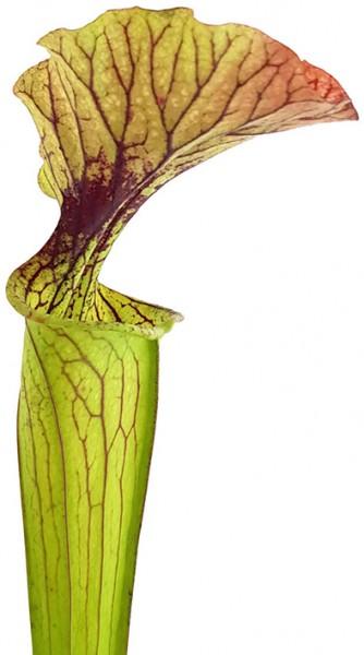 Sarracenia 'Arthur Wheeler'