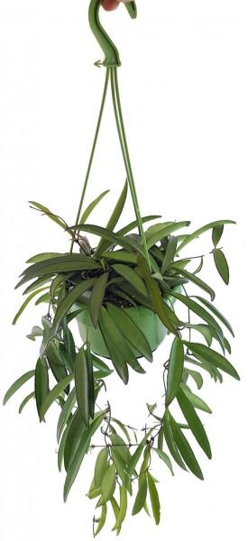 Hoya wayetii Porzellanblume Wachsblume mit roten Blüten Zimmerpflanze Zierpflanze Seidenpflanze Ampelpflanze Dekoration Wohnung Wohnzimmer Zimmer