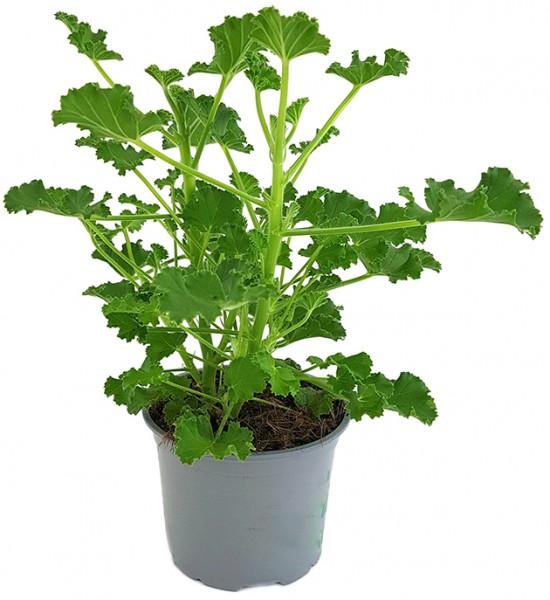 Pelargonium x Asperum 'Cola Fresh' - Duftgeranie