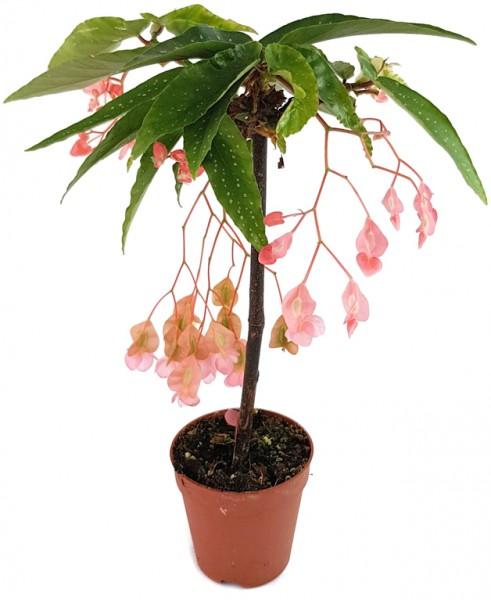 Bamboo Begonia X Tamaya, zimmerbegonie, forellenbegonie, begonie, begonia, begonienpflanze, seltene Pflanze, exotische Pflanze, Zimmerpflanze, Wohnung, Büro, Büropflanze, Schlafzimmer, Zimmer, Küche, Bad, Dekoration, Fensterbrett, Zierpflanze