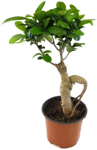 Ficus 'Ginseng' - chinesische Feige