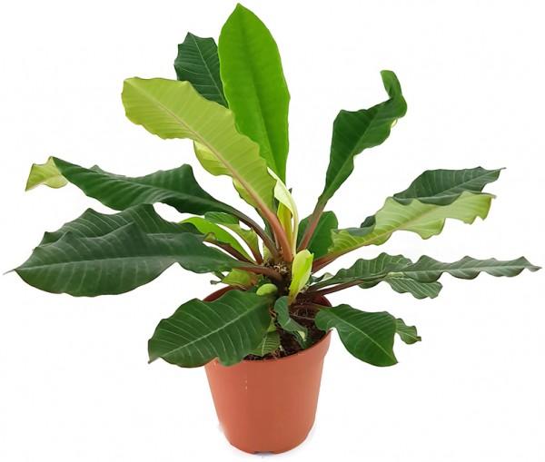 euphorbia euphorbie leuconeura Sukkulente palme Spuckpalme Wolfsmilchgewächs Zimmerpflanze Grünpflanze Dekoration