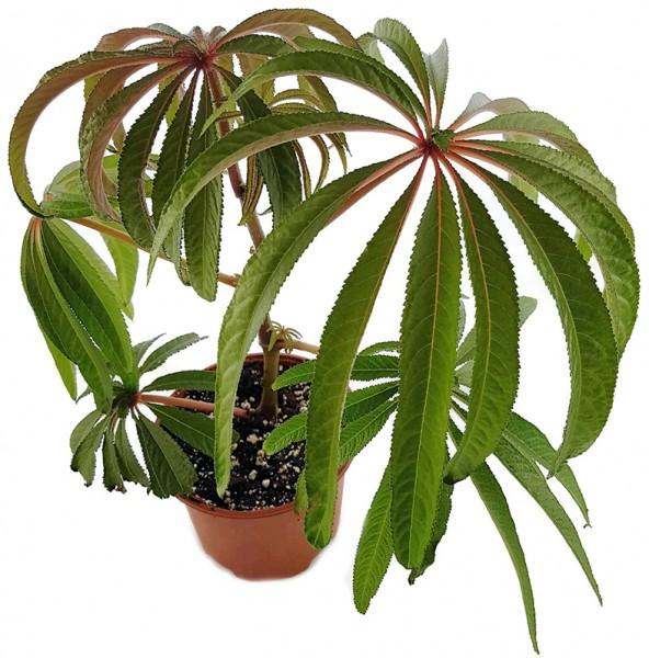 Begonia luxurians - Palmblättrige Begonie