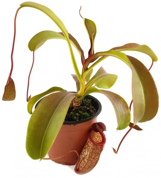 Nepenthes X 'Mimi'