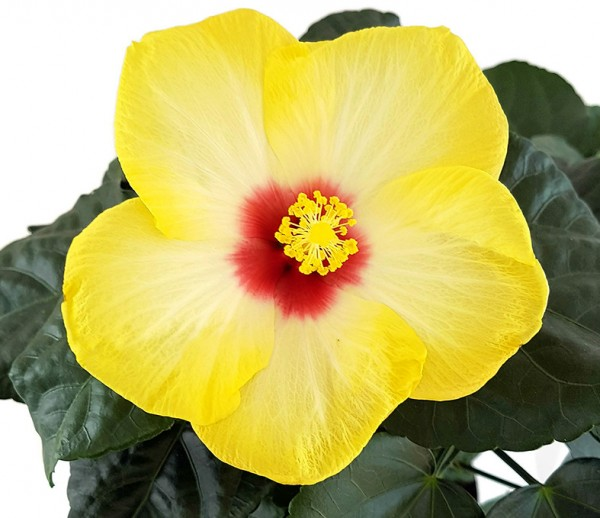 "Hibiscus ""Yellow Red Eye"" - Hawaii Hibiskus"