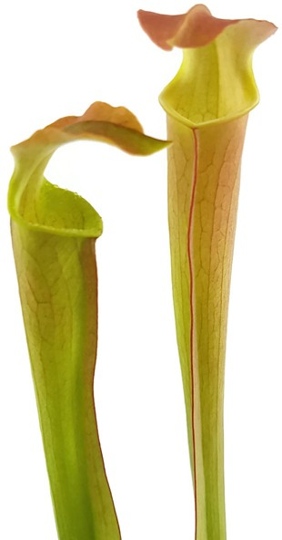 Sarracenia Rubra ssp. Wherryi 'Small Form' Perdido Alabama RW-04-PW