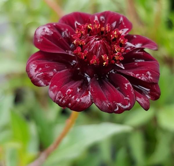 Cosmos atrosanguineus - Schokoladenblume