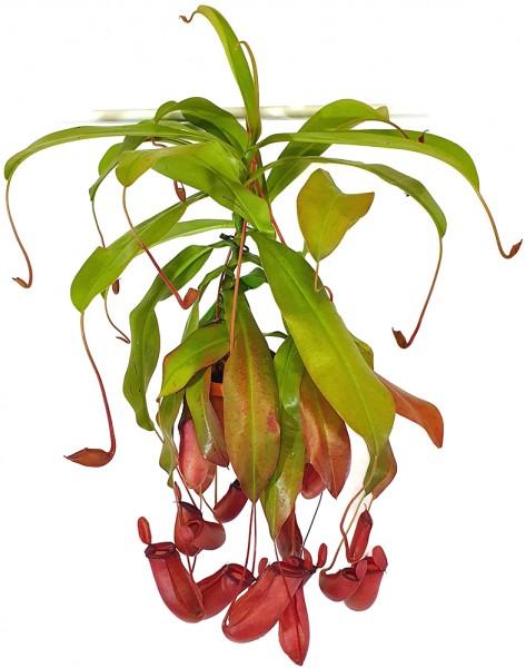Nepenthes Bloody Mary blutrote Kannenpflanze XXL fleischfressende Pflanzen Fangblatt Karnivorenshop Karnivoren