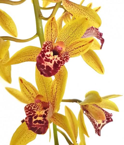 Cymbidium 'Auburn' - Orchidee