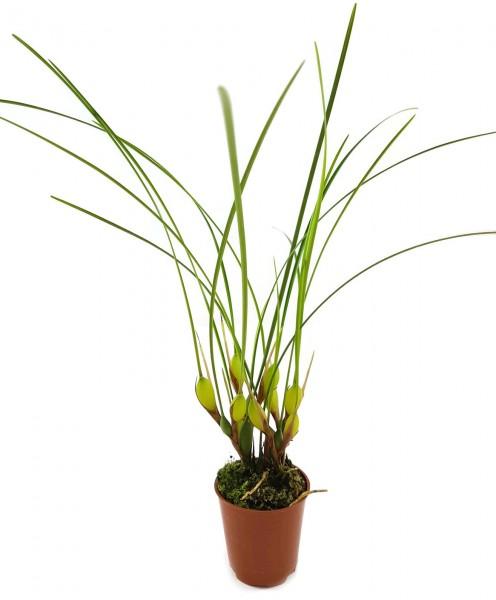 Maxillaria atrosanguinea - Orchidee