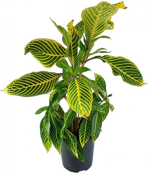 Sanchezia speciosa - Feuerfinger