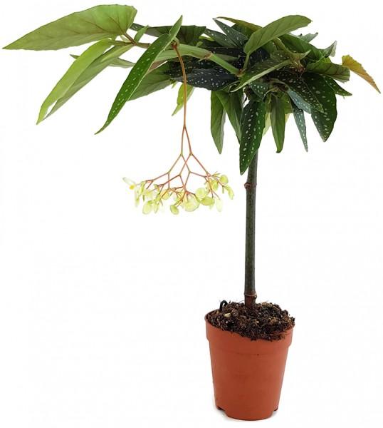 Begonia x Tamaya - Forellenbegonie weiß